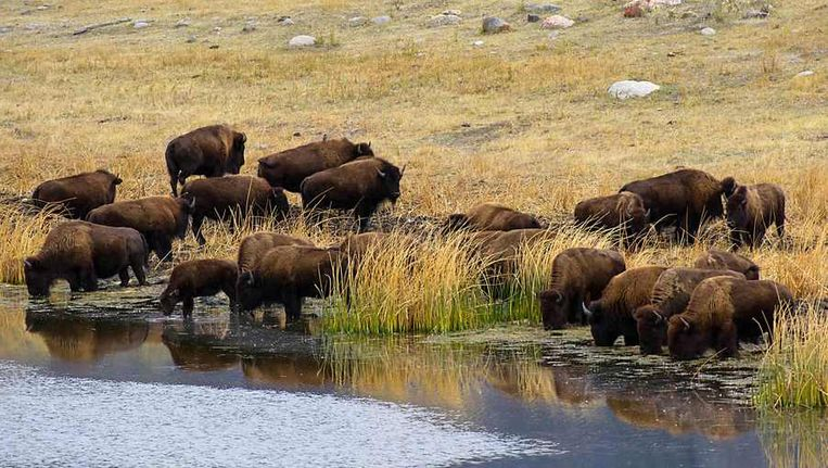 Een kudde bizons in Yellowstone Park Beeld afp