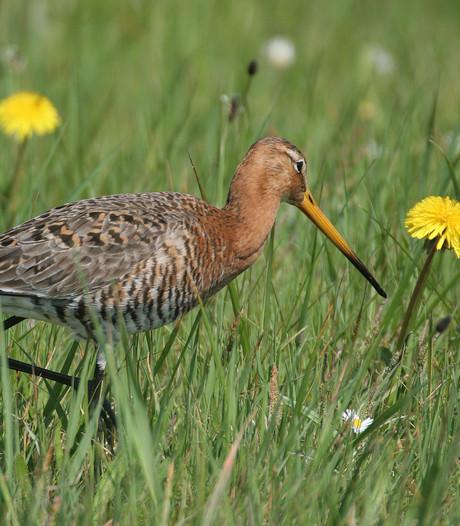 Natuurmonumenten slaat alarm over weidevogel