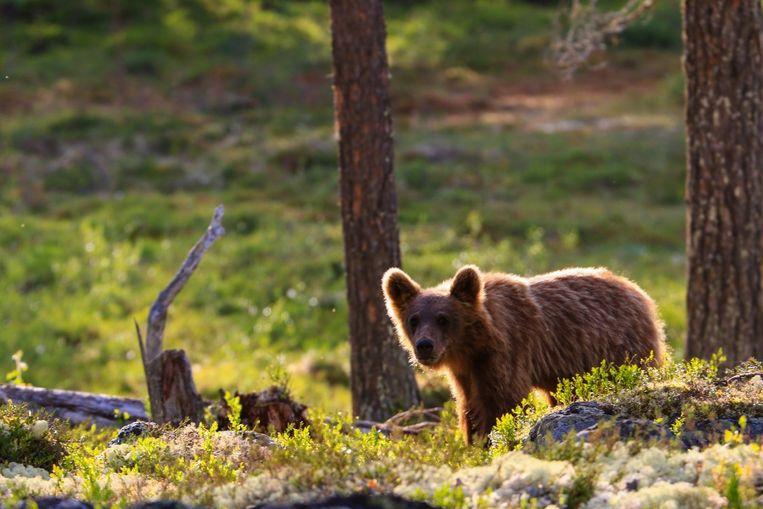 Beren kijken vanuit een veilige berenhut in Zweden.