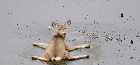 Man redt hulpeloze hertjes van bevroren meer in Canada