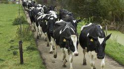 Loslopende koeien zetten Diepenbeek op stelten