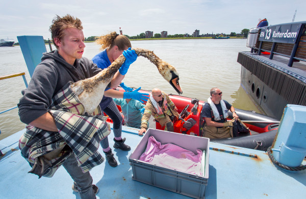**Honderden vogels besmeurd na olielek in Rotterdamse haven**