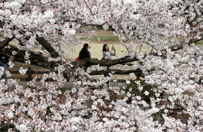 De bloesems in bloei afgelopen voorjaar in de nationale tuin Shinjuku Gyoen in Tokyo.