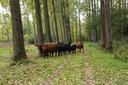 Grazers in natuurgebied De Scheeken.