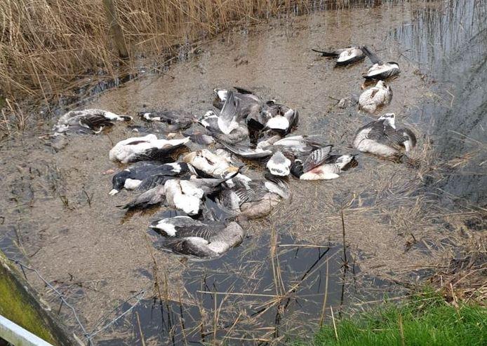 Enkele tientallen dode ganzen in een sloot bij Lopikerkapel.