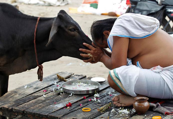 Een hindoe eert een koe bij de rivier Sangam in Allahabad, India.