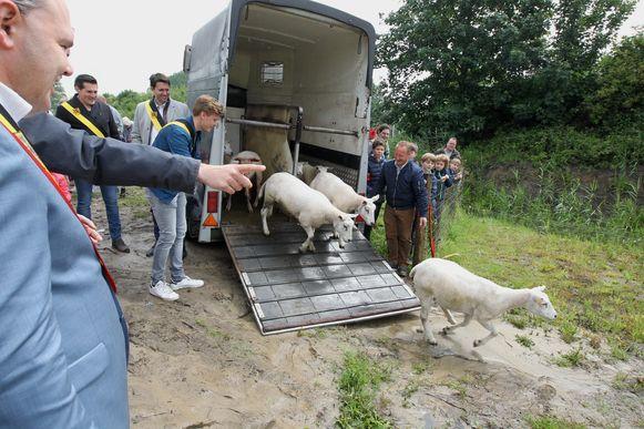 Zaterdag werden de schaapjes gelost in het nieuwe koppelingsgebied in Evergem.