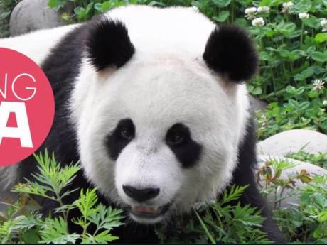 Rhenense panda Xing Ya geniet van berg bamboe