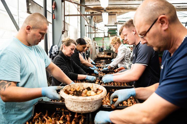 Poolse arbeiders pellen bloembollen in het Noord-Hollandse Opdam. Beeld Katja Poelwijk