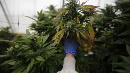 'Eigen kweek', maar dan in 't echt: Limburgse aspergeboeren starten cannabisplantage om schulden af te lossen