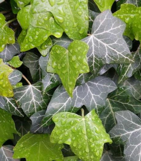 Waarom klimop de ideale plant voor bijna iedere tuin is