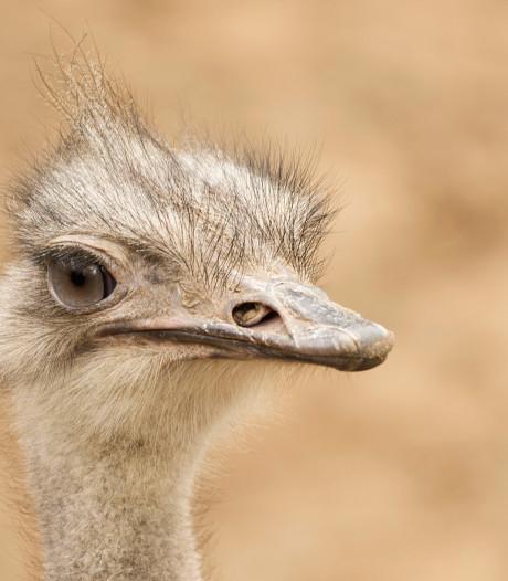 Struisvogels van Dierenpark wacht frisse douche