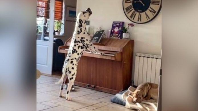 Ce chien adore jouer au piano, quand ses maîtres ne le regardent pas.