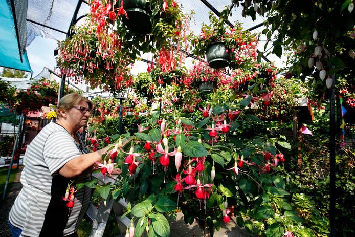 In de tuin van René Leenhouts en zijn vrouw in Dussen waren afgelopen weekeind zo'n 150 fuchsiasoorten te bewonderen.