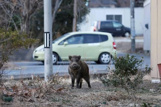 Een wild zwijn scharrelt rond in Namie, niet ver van de kerncentrale Fukushima Daiichi. Veel van de dieren zijn vanwege de kernramp in 2011 zwaar radioactief.