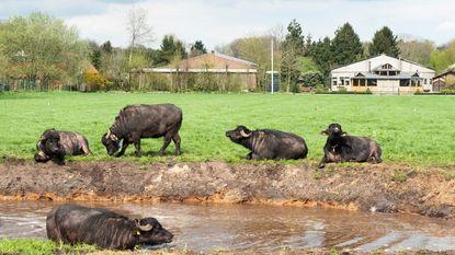 Landbouwbedrijf opent zwemvijver voor 23 waterbuffels