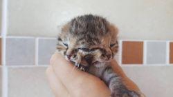 Iedereen supporterde voor dit vertederende katje met twee gezichten, maar het heeft het niet gehaald