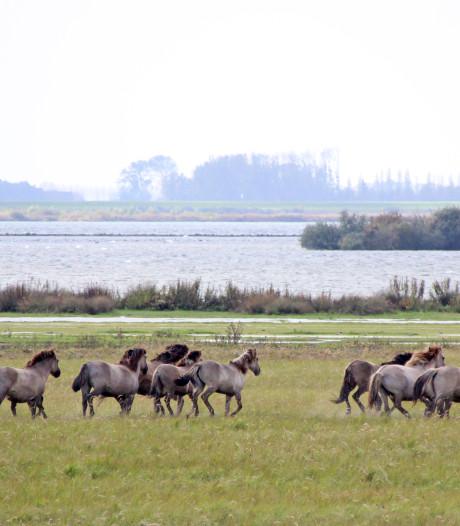 Konikpaarden uit Oostvaardersplassen verkennen nieuw leefgebied op Krammerse Slikken