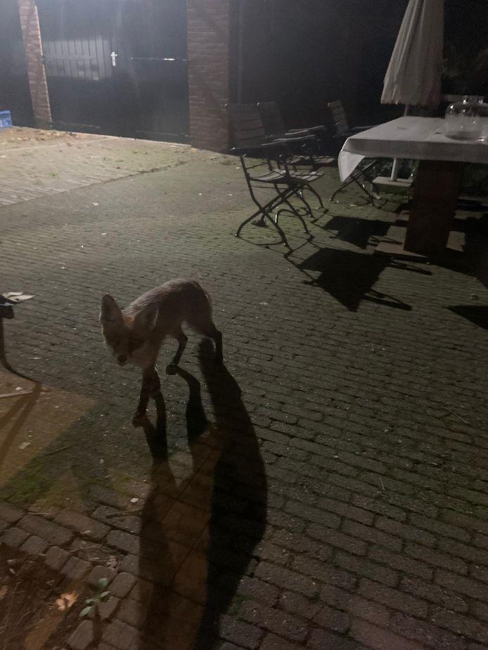De vos kwam even buurten in een Zeister tuin