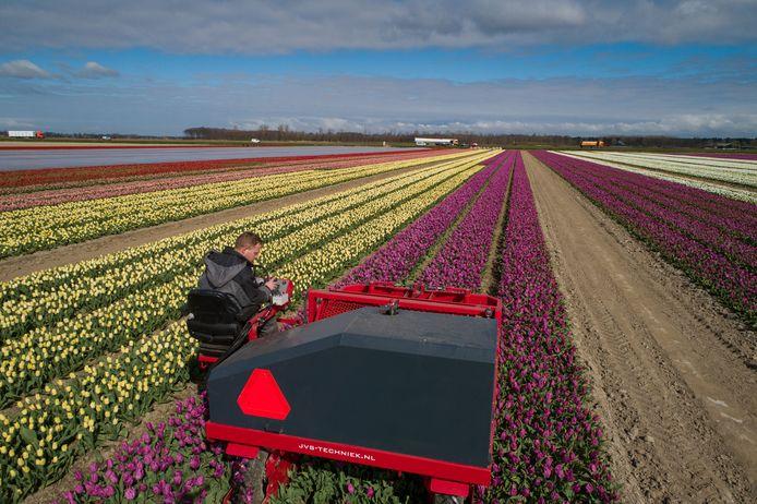 Dronten - De tulpen worden vroeg gekopt dit jaar.