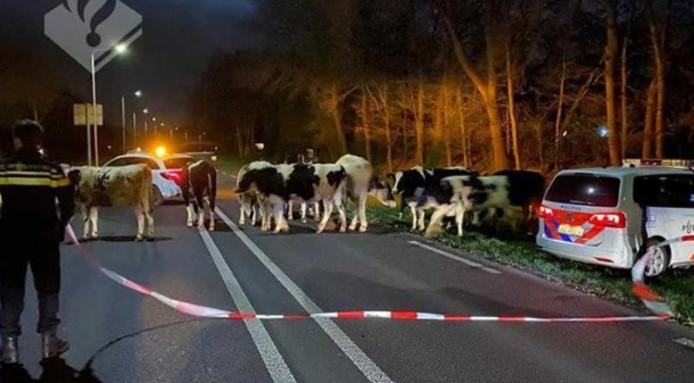 De politie haalt de koeien van de Cuneraweg (N233) tussen Veenendaal en Rhenen.