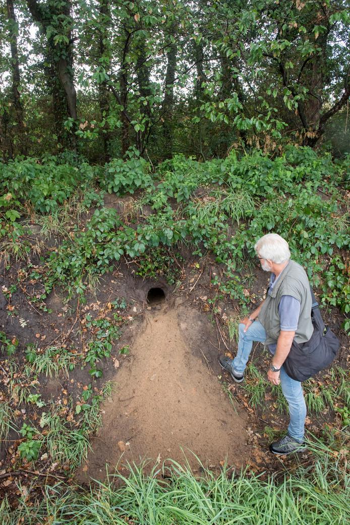 Aart van Dusschoten van Stichting Natuur- en Milieubescherming Putten onderzoekt de verse sporen bij de dassenburcht in de houtwal bij Henslare.