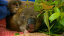 Lewis werd zwaar verbrand naar het koala-ziekenhuis gebracht.