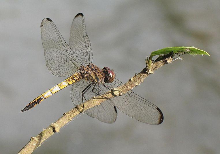 Eleuthemis eogaster of 'Sunrise Firebelly': vernoemd naar het ochtendgloren-met-witte-wolkjes op z'n achterlijf. Beeld KD Dijkstra