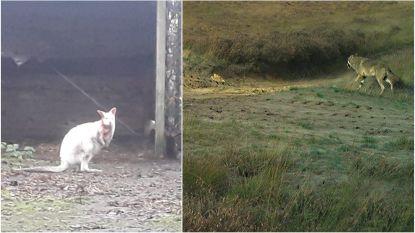 Wolf bijt kangoeroe dood in Antwerpse Kempen