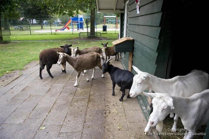 Bij Stadsboerderij Beeklust mag het pluimvee niet meer naar buiten, de andere dieren wel