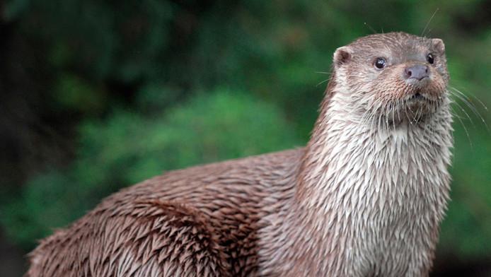 De Europese otter.
