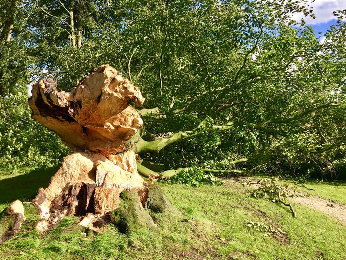 De omgewaaide boom in Ootmarsum.