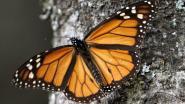 Grote sterfte monarchvlinder bedreigt natuurwonder