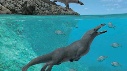 Opmerkelijke archeologische vondst: fossiele walvis met vier poten zwom als een otter
