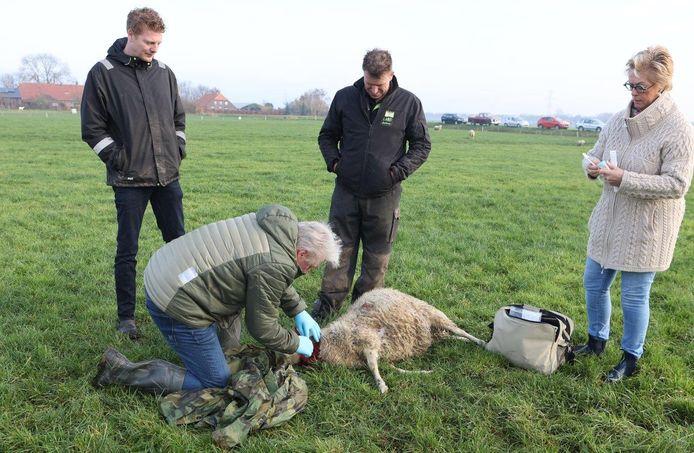 Een schapenhouder vond zijn dieren dood in een wei in Rosmalen.