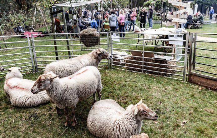Ook schapen zijn aanwezig bij het jaarlijkse Oerfestival.