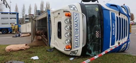 Tiental varkens na ongeluk met vrachtwagen ter plaatse afgemaakt