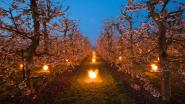 In beeld: Vuurkorven beschermen  jonge bloesems tegen de nachtvorst