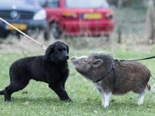Varken Lilly op puppycursus: een poot voor wat rozijntjes