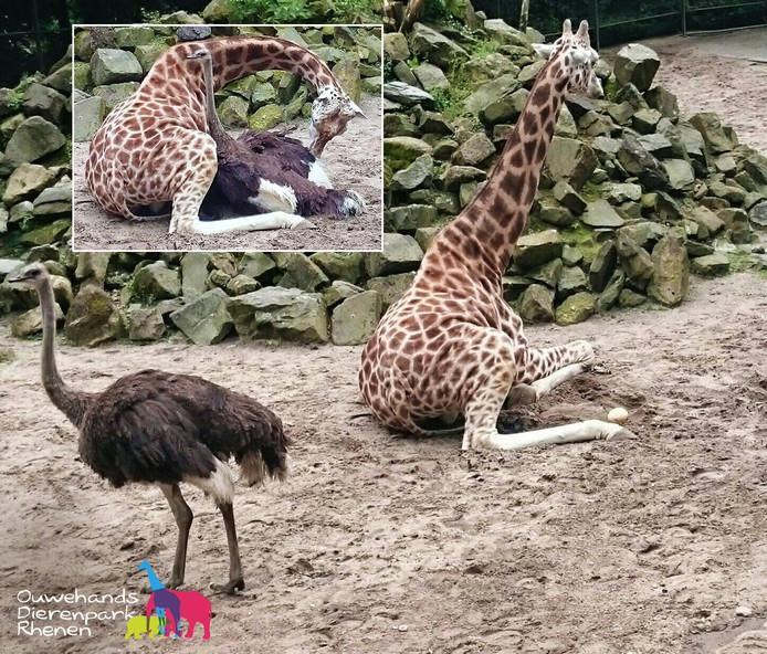 De struisvogel heeft een ei achtergelaten bij de giraffe na hun 'innige omhelzing' even eerder (inzet).