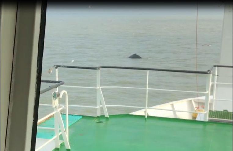 De bemanning van het onderzoeksschip Simon Stevin zag deze bultrug plots voorbijzwemmen.