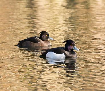 Twee kuifeenden in het water. 'De kuifjes lijken met een beetje brylcream achterover gekamd. Twee goed gesoigneerde eenden.'