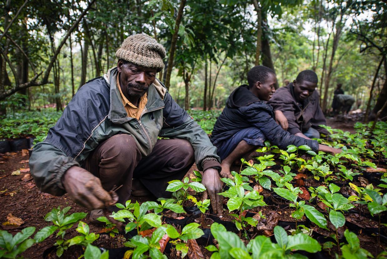 Koffieboer Armando Campira verwijdert onkruid tussen de koffieplanten van Gorongosa Coffee. Hij was de eerste boer die het voorbeeld van Gorongosa Coffee volgde en ook zelf koffie ging verbouwen.