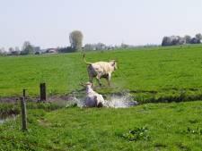Eigenwijze koe dwars door sloot bij weidegang Eemlandhoeve