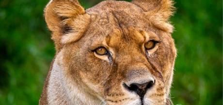 Antwerpse Zoo rouwt om verlies van leeuwin Caitlin
