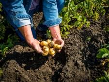 'Achter aardappelbedrijf Quik in Hedel is de stank niet te harden'