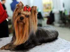 Vagina van hond betasten op Dogshow Ahoy dit weekend betekent een diskwalificatie
