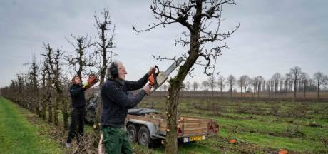 Snerpende kettingzagen vellen grote perenboomgaard van vier hectare in Dodewaard
