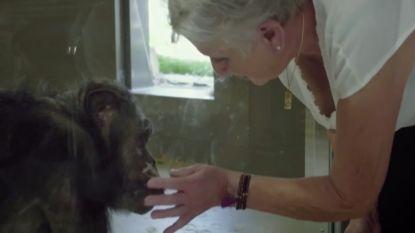 Emotioneel moment in 'Leve De Zoo' met Arnout Hauben: chimpansee Judy herkent verzorgster Lies nog