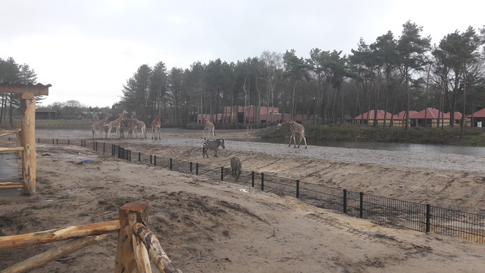 Giraffen en zebra's hebben het nieuwe Safari Resort al ontdekt.